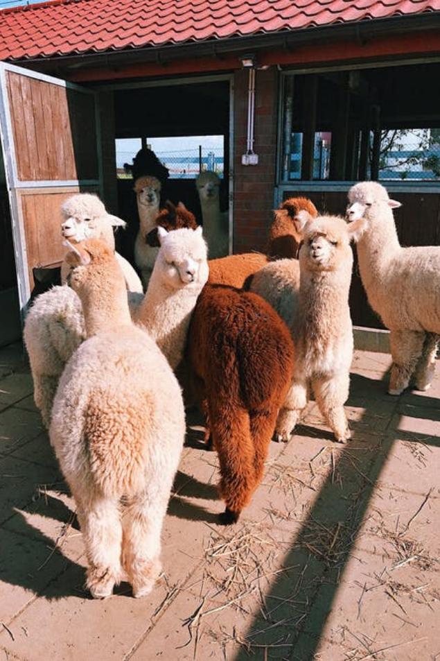 Living Hotels Blog - Ausflüge Düsseldorf Kinder Alpacas